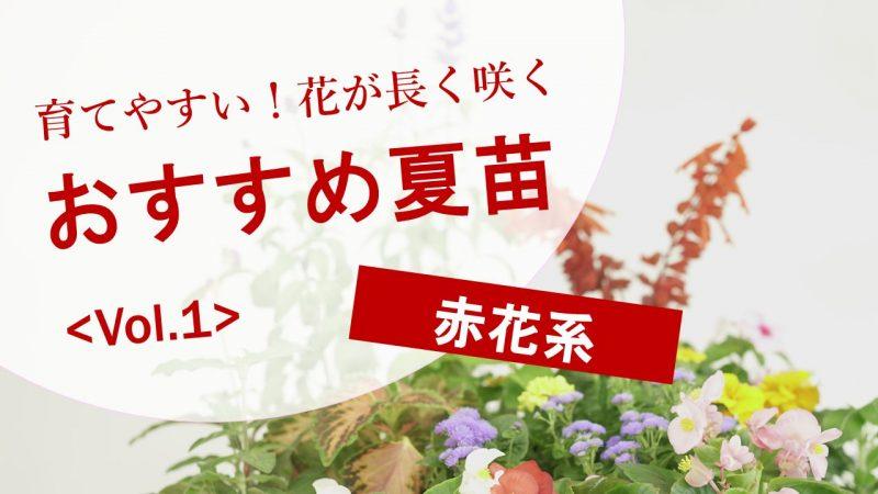 育てやすい!花が長く咲く おすすめ夏苗 Vol.1 赤花系